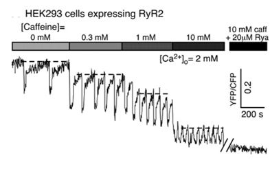Fig.2. Representative traces of SR calcium concentrations from HEK-293 cells expressing RyR2wt in response to increasing caffeine concentrations (dashed line represents the threshold for SOICR, modified from Kong et al., Biochem. J. 2008).