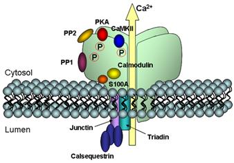 Fig. 3.  Cartoon representation of the RyR2 macromolecular complex.