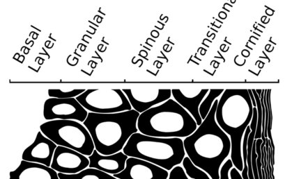 Fig. 1.  Bi-levelled schematic of an epidermal cross-section with commonly identified layers. Keratinocyte differentiation (left to right) alters the cellular biochemistry and morphology (Table I).